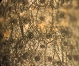 Xylaria cornu-damae image