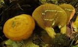 Lactarius peckii image