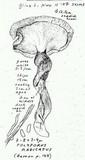 Polyporus radicatus image