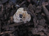 Hymenogaster subalpinus image