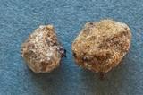 Rhizophagus fasciculatus image
