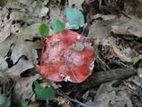 Russula vinacea image