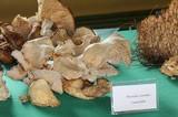 Pleurotus opuntiae image