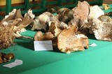 Tricholoma mesoamericanum image