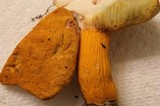 Boletus auriflammeus image