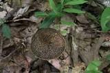 Leccinellum crocipodium image