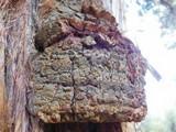 Pyrofomes juniperinus subsp. earlei image