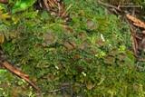 Psoroma hypnorum image