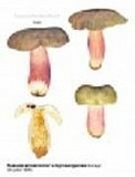 Russula amoenicolor image