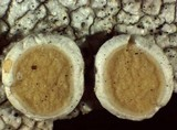 Ochrolechia oregonensis image