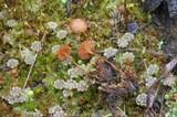 Naucoria amarescens image