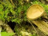 Helvella macropus image