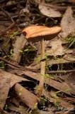 Leratiomyces squamosus var. squamosus image