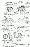 Elaphomyces granulatus image