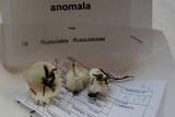 Russula anomala image
