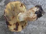 Boletus huronensis image