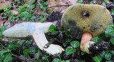 Boletus miniato-pallescens image