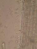 Hemimycena mauretanica image