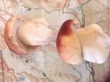 Boletus rubriceps image