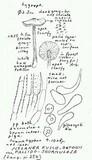 Nolanea fusco-ortonii image