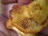 Cortinarius limonius image