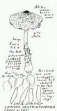 Lepiota ventriosospora image