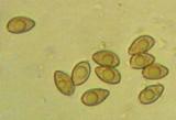 Agrocybe erebia image