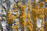 Oxneria fallax image