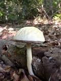 Leccinellum albellum image