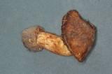 Cortinarius elegantior image