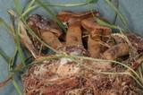 Cortinarius paragaudis image