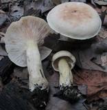 Tricholoma odorum image
