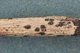 Coccomyces gaultheriae image