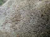 Sarcodon calvatus image