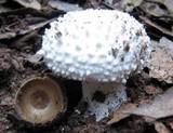 Amanita echinocephala image