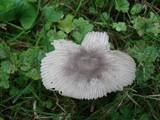 Amanita pachysperma image