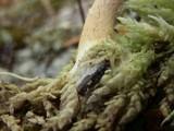 Pholiota sphagnicola image