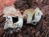 Albatrellus confluens image