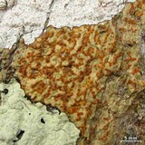 Image of Verrucaria aenea