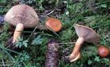 Lactarius porninsis image