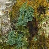 Coccocarpia prostrata image