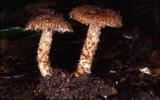 Inocybe hystrix image