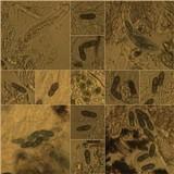 Melaspilea ochrothalamia image