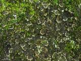 Peltigera ulcerata image