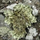 Image of Parmotrema xanthinum