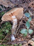 Cortinarius pholideus image