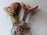 Hydnellum scrobiculatum image