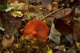 Cortinarius sanguineus image