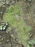 Image of Biatora pontica