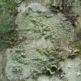 Loxospora pustulata image